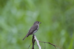 Roter throated Flycatcher Stockfotos