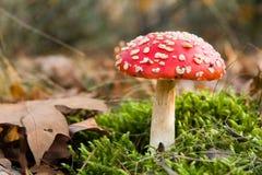 Roter Toadstool im Wald Stockbilder