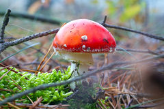 Roter Toadstool im Waldabschluß oben Lizenzfreie Stockbilder