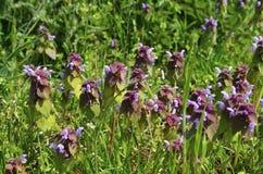Roter Tot-Nessel Lamium Purpureum stockfoto