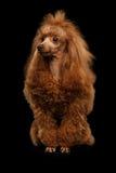 Roter Toy Poodle Dog auf lokalisiertem schwarzem Hintergrund lizenzfreies stockfoto