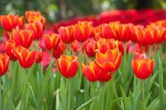 Roter Tulpehintergrund Stockfotografie
