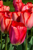 Roter Tulpen Keukenhof-Gartenpark Lizenzfreie Stockbilder