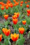 Roter Tulpen Tulipa Kaufmanniana im Blumenbeet zu Ostern-Zeit lizenzfreie stockfotos