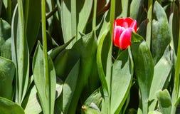 Roter Tulpenstapel in den grünen Blättern lizenzfreies stockbild
