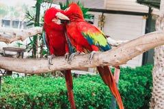 Roter und blauer Macaw stockfoto
