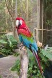 Roter und blauer Papagei Lizenzfreie Stockfotos