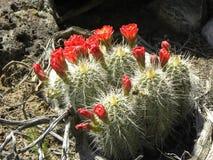 Roter und gelber Fass-Kaktus Stockfoto
