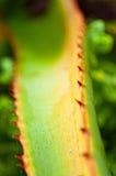 Roter und grüner Aloezweig Lizenzfreies Stockfoto