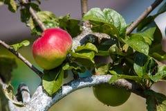 Roter und grüner Apfel auf dem Baum Stockfotos