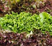 Roter und grüner Blattkopfsalat auf Bildschirmanzeige Stockfoto