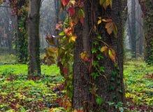 Roter und grüner Efeu auf Bäumen Stockfotos