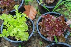 Roter und grüner Eichensalat Stockfotos