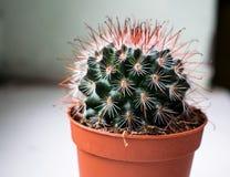 Roter und grüner Kaktus Stockbild