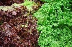 Roter und grüner Kopfsalat Lizenzfreie Stockfotos
