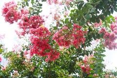 Roter und rosa bunter Kreppmyrten-Niederlassungshintergrund - Nahaufnahme und selektiver Fokus lizenzfreies stockbild