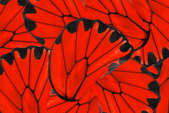 Roter und schwarzer Hintergrund goldenen Birdwing-Schmetterlinges stockbilder