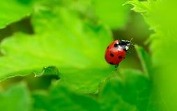 Roter und schwarzer Marienkäfer Stockbilder
