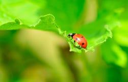 Roter und schwarzer Marienkäfer Stockfotos
