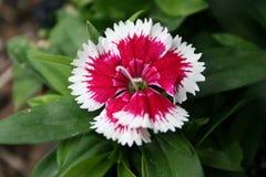 Roter und weißer beständiger Dianthus Stockfotos