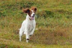 Roter und weißer Gewehrhund, der gegen grünes Gras des Hintergrundes läuft lizenzfreies stockbild