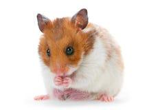 Roter und weißer Hamster Stockfoto