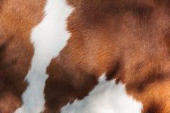 Roter und weißer Pelz einer Kuh Stockbild