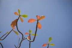 Roter Urlaub des Herbstes mit Hintergrund des blauen Himmels Naturfarbbildart Selektiver Fokus Lizenzfreie Stockfotografie