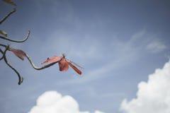 Roter Urlaub des Herbstes mit Hintergrund des blauen Himmels Naturfarbbildart Selektiver Fokus Lizenzfreie Stockfotos