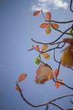 Roter Urlaub des Herbstes mit Hintergrund des blauen Himmels Naturfarbbildart Selektiver Fokus Stockfotografie