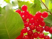 Roter Viburnum Stockfotos
