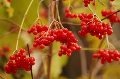 Roter Viburnum Stockbild