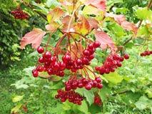 Roter Viburnum mit grünen Blättern stockbilder