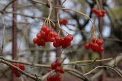 Roter Viburnum unter meinem Fensterherbst friert nur die meine Beeren ein Stockbilder