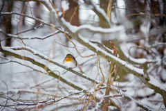 Roter Vogel auf Baum Lizenzfreie Stockfotografie