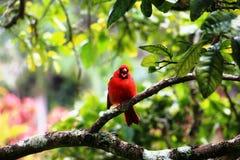 Roter Vogel auf einem Baum lizenzfreies stockbild