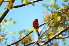 Roter Vogel, der auf einem Baum stillsteht Stockfoto