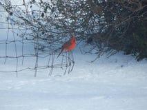 Roter Vogel, der auf einem Draht singt Lizenzfreie Stockfotografie