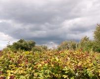 Roter wachsender Brombeerstrauchbusch unter bewölktem Himmel Lizenzfreie Stockbilder