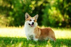 Roter Waliser-Corgi Pembrokehund draußen auf grünem Gras stockfoto
