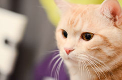 Roter weißer Katzenabschluß der getigerten Katze oben Stockbilder