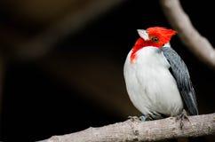 Roter weißer u. schwarzer Vogel mit gekipptem Kopf Lizenzfreie Stockbilder