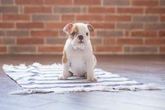 Roter weißer Welpe lustigen Schlafens des englischen Stierhundes nah an Backsteinmauer und auf dem Boden, der zur Kamera schaut N Lizenzfreies Stockfoto