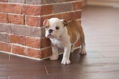 Roter weißer Welpe lustigen Schlafens des englischen Stierhundes nah an Backsteinmauer und auf dem Boden, der zur Kamera schaut N Stockfotos