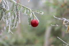 Roter Weihnachtsball auf einem Baumast Stockfoto