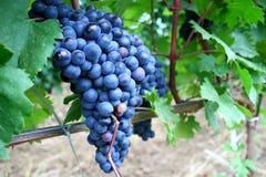 Roter Weinstock für Wein Stockfotografie