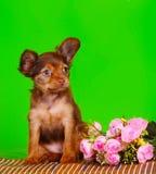 Roter Welpe, der mit einem Blumenstrauß von rosa Rosen auf einem grünen Hintergrund sitzt Schöner kleiner Hund Lizenzfreie Stockfotos