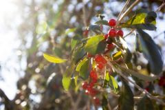 Roter Winter Holly Berries Possumhaw Stockfotos