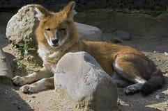 Roter Wolf 1 Lizenzfreie Stockfotografie