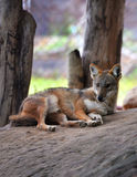 Roter Wolf stockfoto